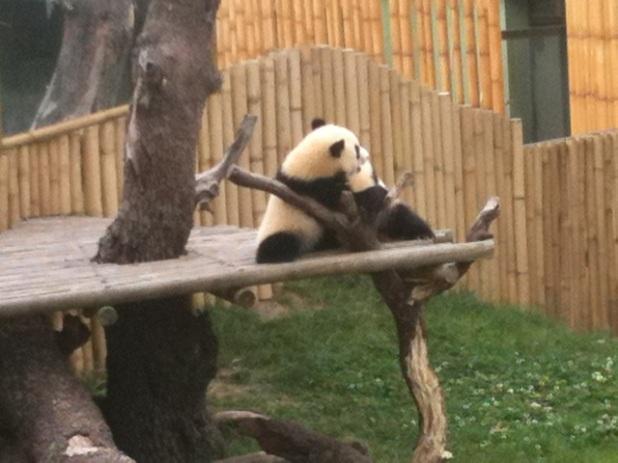 Dos bebés de Oso Panda jugando mientras su mamá duerme